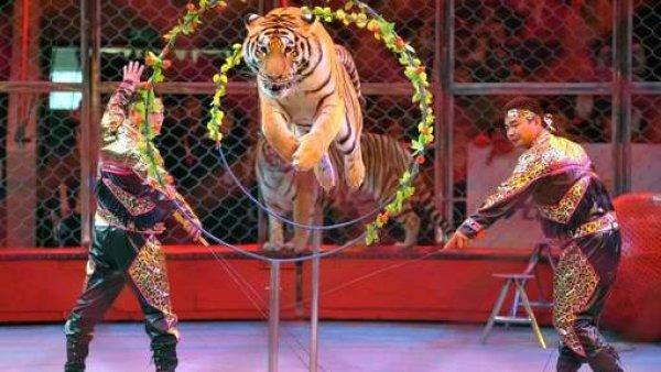 從2015年9月15日起,荷蘭全面禁止馬戲團野生動物表演開始生效。<br /> <br...