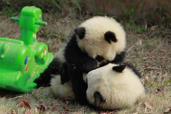 兩隻在爭小馬哥的熊貓寶寶