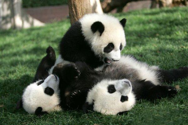 我也想睡在熊貓上面,一定是暖暖噠~
