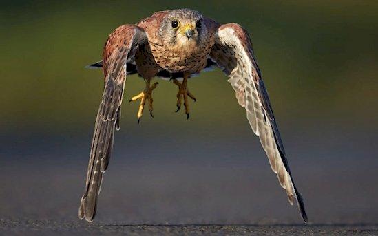 4. 飛行中的紅隼, 差點就碰到地面了。