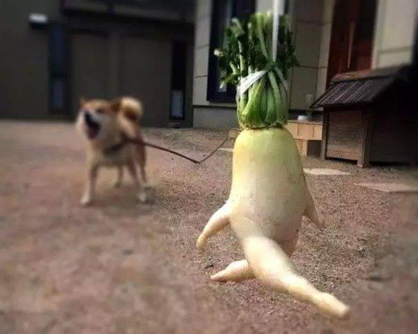 7,想當人參的蘿蔔