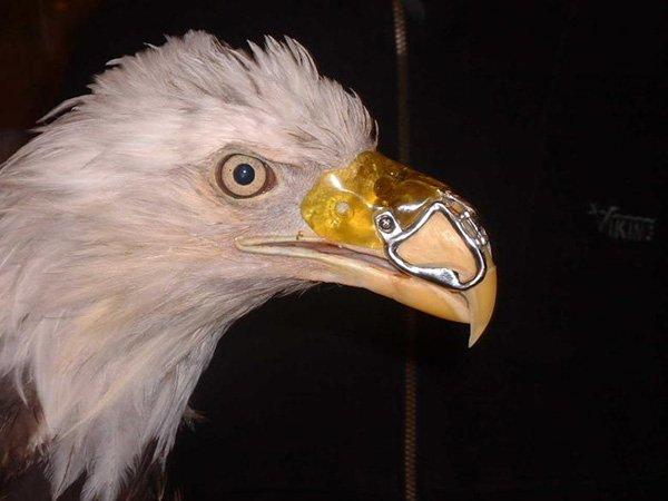 模具做好後,利克做出一個永久性義喙並染成黃色配上喙子的其餘部分。<br...