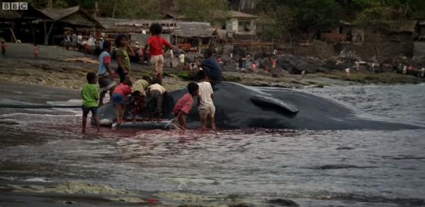 只獵殺抹香鯨,看見藍鯨繞路跑