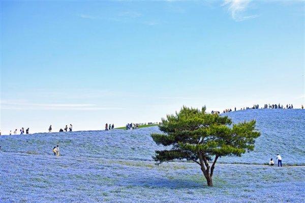 自然界所有的顏色都出現在日本190公頃的日立海濱公園。那裡一年一度的重...
