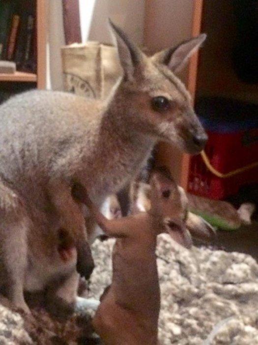 她在过去六年里抚养了许多沙袋鼠宝宝……