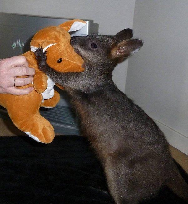 我有三只沙袋鼠和两只袋鼠都会经常回来探望我。 有另外三只沙袋鼠已经...