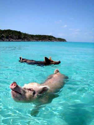 8. 巴哈馬豬海灘