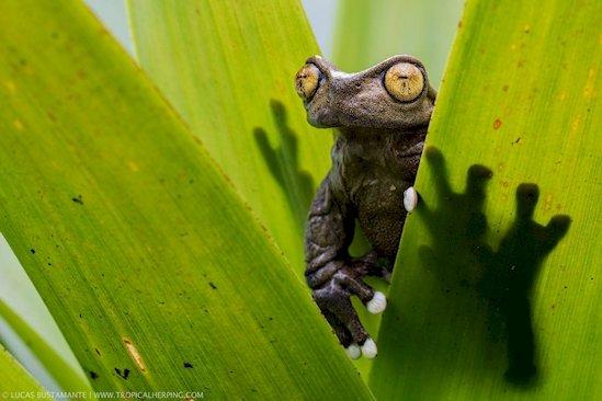11. 這種體型極小的青蛙住在南美洲安第斯山脈的高山上。
