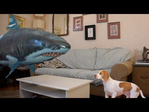 視頻中狗狗的主人在客廳玩鯊魚氣球,看狗狗在一旁變遙控鯊魚走向狗狗。...