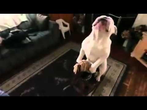 會騎馬的狗狗看過沒?影片裡的主角狗狗來自俄羅斯,戰鬥民族養的狗果然...