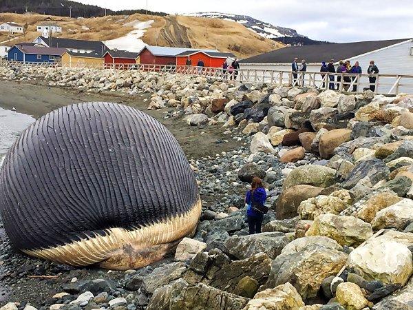 許多遊客收到消息後還特地前來,想要親眼目睹已漲成球狀的藍鯨屍體。不...