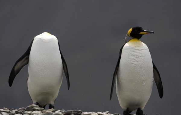 他描述當時的情形,當時不只看到一兩隻企鵝沒有頭,而是好多隻都是一樣...
