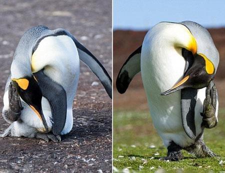 後來回過神後才注意到,原來這些企鵝不是沒有頭,而是它們把頭伸到背後...