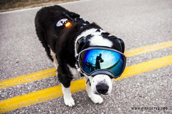 所以牠在工作的時候都得戴上護目鏡和耳罩以保護眼睛和耳朵。