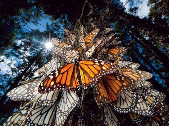 13. 照片中捕捉到了帝王蝶飛回冬季的地方——位於墨西哥的蝴蝶保護區。