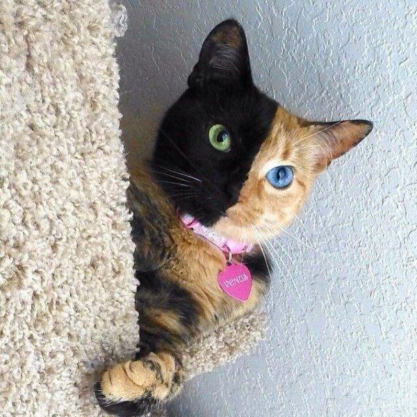18. 鍾無艷貓咪, 半臉呈黑色, 另一半則是褐色。