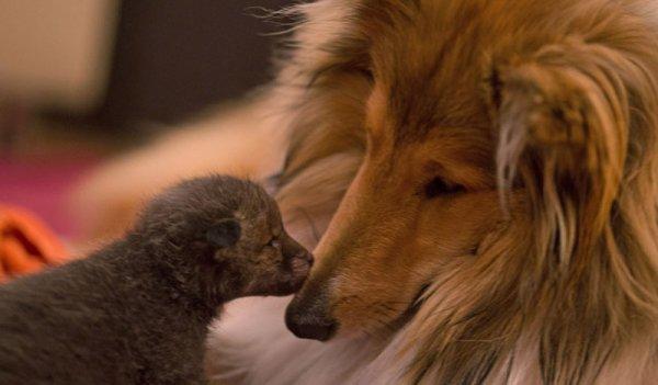 這隻三周大的小狐狸被移交給一名獸醫, 然後由一對熱愛動物的德國夫婦...