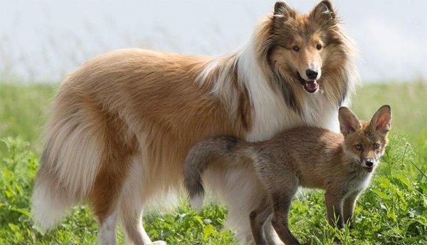「我們的牧羊犬充當小傢伙們的養母。」