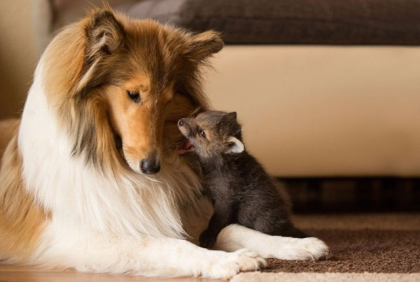 他們跟一隻名叫基瓦(Ziva)的牧羊犬一起生活, 牠以母愛的本能看護著迪...