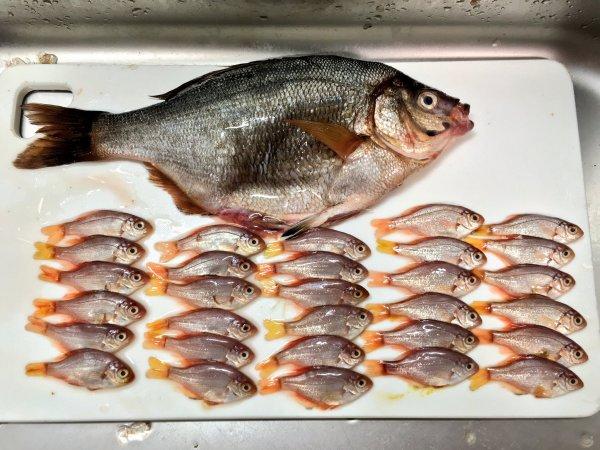 最後總共拿出30隻小魚出來!太驚人了......<br /> 看起來這是在母體內發...