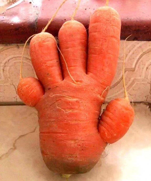 5,蘿蔔連體嬰