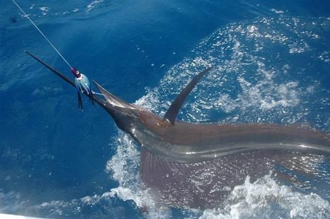 旗魚(Sailfish)的尖吻像一把鋒利的長劍,再加上120公里/小時的速度,和150...