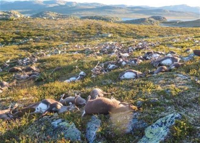 挪威南部的哈當爾高原,在當地時間上周五發生一起離奇事件,有 323 只野...