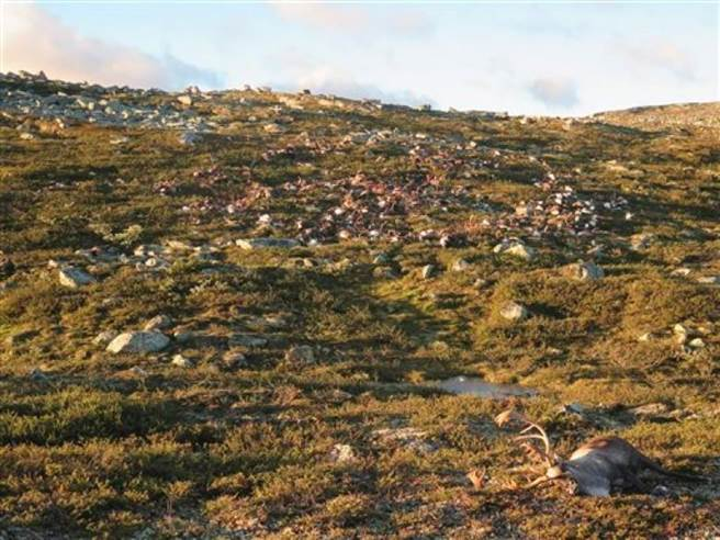 發生這起意外的哈當爾(Hardangervidda)高原是歐洲最大的馴鹿棲息地,約有...