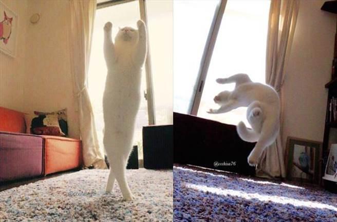 日本一位貓主人瀬戸にゃん,她家養了四隻貓,當中一隻貓仔 「ミルコ 」...
