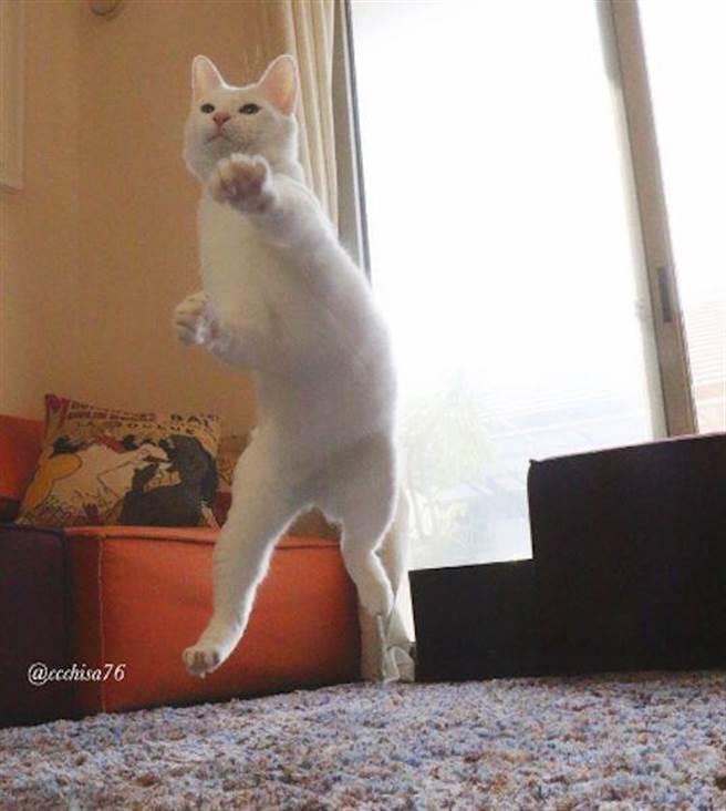 沒想到她的貓真的會打醉拳啊!
