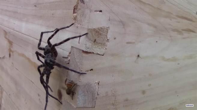 一開始流星錘蜘蛛面對落單的蜜蜂,「以大欺小」的姿勢朝它進行攻擊。這...
